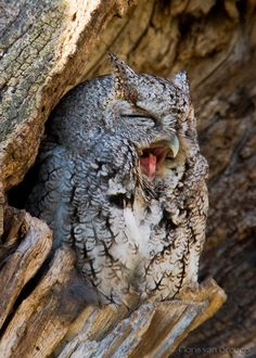 Eastern Screech-Owl, Is this yawning?