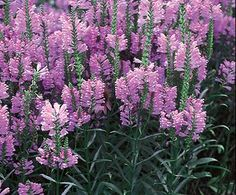 Obedient Plant | Bloom IQ