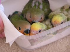 Baby Lovebirds - Notice the black on the beaks, as they get older, it gets less. These look to be about 4-5 weeks old.