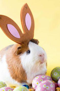 The Daily Guinea Pig : Photo