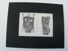 8x10 1971 Vintage Male Abdomen Print, Anatomy, Mounted Ready to Frame £4.50