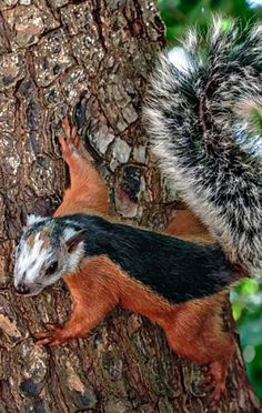 This little piebald squirrel has amazing markings ❊ (see more great squirrel pins on **Feelin' Squirrely** group board)