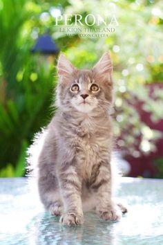 "Perona "" Maine coon Cat "" CFA Lekion Thailand"