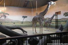 Ouverture de la nouvelle maison des girafes au Zoo de Toronto
