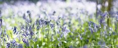 Wonderful Places To See Bluebells in Surrey, Hampshire and Sussex - Pumpkin Beth Bog Garden, Garden On A Hill, Garden In The Woods, Spanish Bluebells, English Bluebells, Beautiful Places To Visit, Wonderful Places, Places To See, Sussex Gardens