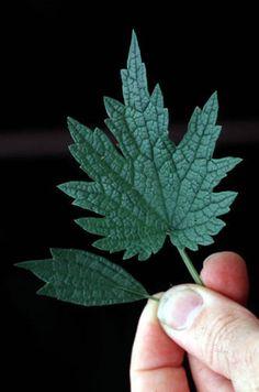 Ohio Weedguide-- motherwort ID