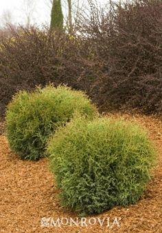 Hetz Midget Arborvitae (Thuja occidentalis 'Hetz Midget') - Monrovia - Hetz Midget Arborvitae (Thuja occidentalis 'Hetz Midget')