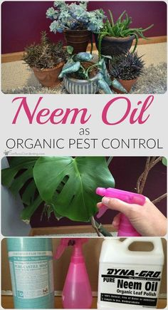 Tired of spending tons of time battling houseplant pests? Try neem oil as organic pest control, it works wonders to kill those nasty houseplant pests.