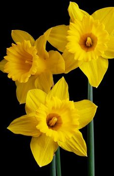 Gender Feminine Place A Daffodil On Your Altar While Casting Love Spell Daffodils Bring And Fertility Plus It S My Birth Flower