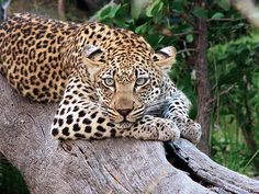 """Photographer Greg McCall-Peat: """"The Timbavati is known for its leopards and Umlani Bushcamp has one very special resident female that has stolen many hearts. Her name is Rockfig Jnr – a beautiful blue-eyed female. She is a supermodel and almost every time I see her she seems to be striking a pose. She was lazing the day away on a fallen leadwood tree, allowing me to capture this photo of her."""""""