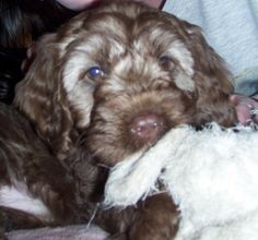 Cockapoo Puppy Photos - THE COCKAPOO CLUB OF GB Cockapoo Puppies, Dogs And Puppies, Baby Furniture Sets, Photo Galleries, Club, Photos, Animals, Pictures, Animales