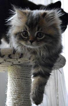 ✿ ❤  Cute Kitten ♥     awesomelycute.com