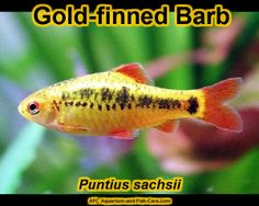 ... characins tetras characins and other characiformes characins aquarium