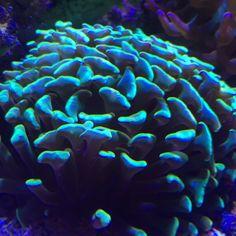 Hammer  #coral #reeftank #coralreeftank #reef #reefpack #reef2reef #reefcandy #reefersdaily #reefrEVOLution #coralreef #coraladdict #reefaholiks #reefjunkie #reeflife #instareef  #allmymoneygoestocoral #instareef  #reefpackworldwide