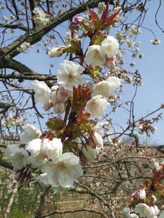 A cherry tree - known as The Poet Tree - in the gardens of Sharpham House on the Sharpham Estate, Spring 2015.  Pin us at www.pinterest.com/sharphamtrust Like Sharpham Trust at www.facebook.com/SharphamTrust Follow us @SharphamTrust Visit us at www.sharphamtrust.org