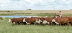 Hereford, Cow, Breast, Animals, Water, Animales, Animaux, Cattle, Animal