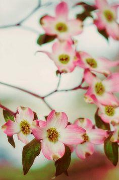Pink dogwood blooms http://media-cache-ec2.pinterest.com/736x/89/8f/ae/898faee0ec7f4ccc98103d3318a4a2c1.jpg