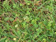 Common Lawn Weeds  		Weeds will grow and ruin the look of a well-manicured lawn. Learn about the most common types of weeds and how to kill them.