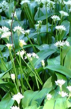 Wild garlic - the forager's favourite