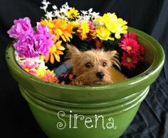 Sirena is an adoptable Yorkshire Terrier Yorkie Dog in Tulsa, OK.... I so wish I could have her as I just got Lucy in Feb and she is incredibly precious. Probably a good thing Tulsa is so far away.