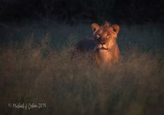 Featured Pic Lioness at Dawn. #WLRFeaturedPic