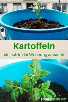 Kartoffeln im Eimer anbauen, so klappt es sogar in der Wohnung Potatoes are not very demanding and can thrive even in the smallest of spaces. With these instructions, you can even grow the tubers in y Grow Potatoes In Container, Container Gardening Vegetables, Vegetable Garden, Garden Plants, Container Flowers, Container Plants, Growing Herbs, Growing Vegetables, Potatoes Growing