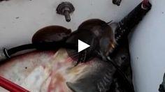 De manière tout a fait inattendue, un groupe de pêcheur a assisté à la naissance de petites raies pastenagues sur...