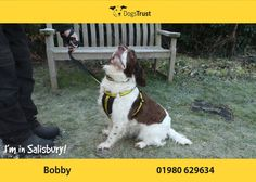 Bobby is a 7 year old English Springer Spaniel at Dogs Trust Salisbury. He is a shy boy who takes his time getting to know new people. Bobby needs a quiet rural home where there is very little going on. Bobby loves his toys and treats and this is a great way to bond with him. He has been doing some training programs here at the RC and he would like to continue these in the home.