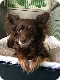 Long-haired chihuahua Giselle is up for adoption at the Humane Society of New York.  For more info: http://www.adoptapet.com/pet/12904082-new-york-new-york-chihuahua