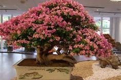 Looking for guidance for a bougainvillea bonsai tree Bougainvillea Bonsai, Bonsai Plants, Bonsai Garden, Bonsai Trees, Small Trees, Ficus, Plant Care, Plant Decor, Tropical