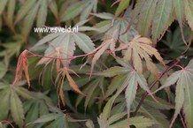 Acer palmatum 'Murasaki yama'