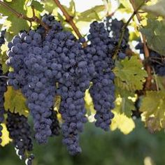 The west coast of lower Michigan is prime grape-growing territory.