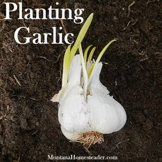 If you use as much garlic in your cooking as we do, then planting garlic in your vegetable garden is a must! I was taught that the best time to plant garlic