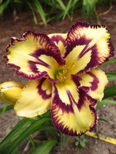 Photo of Daylily (Hemerocallis 'Cosmic Blast') uploaded by pjay