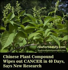 chinese plant compound wipes out cancer in 40 days, says new research  