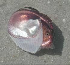 「paper nautilus」の画像検索結果