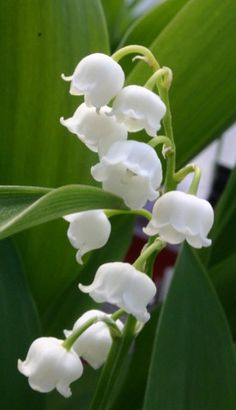 lily of the valley~one of my favorites