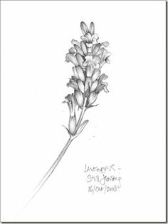 botanical lavender sketch