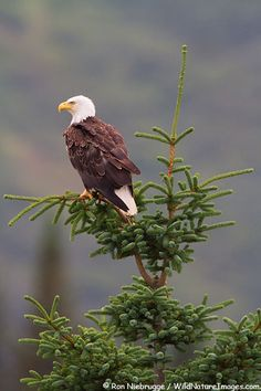 Bald eagle, Lake Clark National Park, Alaska.