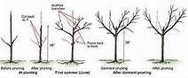 peach tree pruning - Bing Images