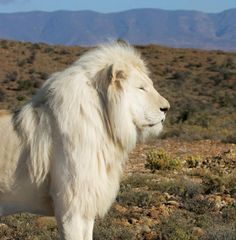 White Lion occasionally found in South African preserves... Awesome