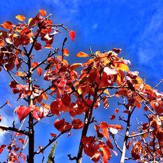 Pyrus autumn