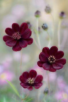 (Cosmos di Mandy Disher Florals su Flickr)