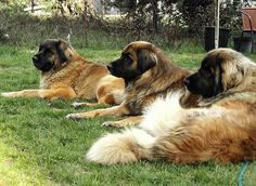Leonbergers - I must have one at one point in my life