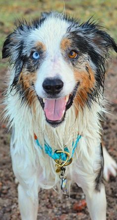 Aussie with two different eye colors