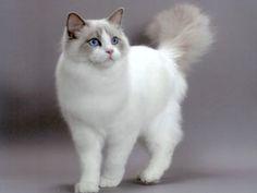 Gatos y gatitos - Gatitolandia - Ragdoll