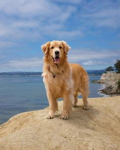 """Outstanding """"golden retriever puppies"""" info is readily available on our site. Read more and you wont be sorry you did. Perros Golden Retriever, Chien Golden Retriever, Cute Dogs And Puppies, Doggies, Corgi Puppies, Retriever Puppy, Family Dogs, Dog Photography, Beautiful Dogs"""