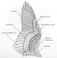 More wing feather classification.