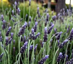 "Goodwin Creek Grey Lavender Plant - Good Scents - 3"""" Pot"
