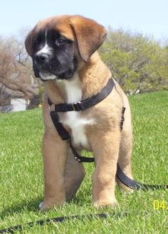 Saint Bermastiff Puppy ~ this would make an awesome addition to my fam